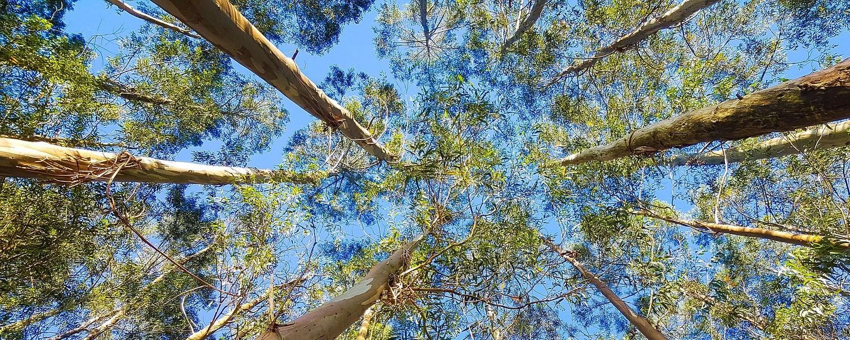 eucalypt trees